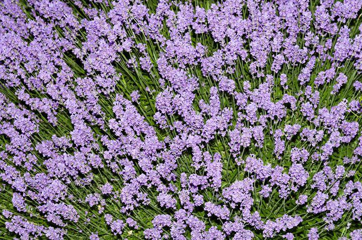 Lavender Plant - Bob Corson Photography