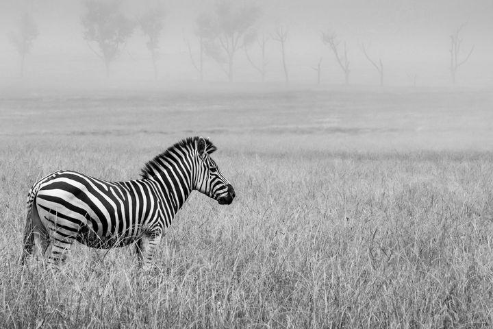 Zebra in mist - Brian van Niekerk