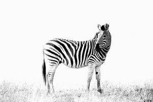 Zebra posing - Brian van Niekerk