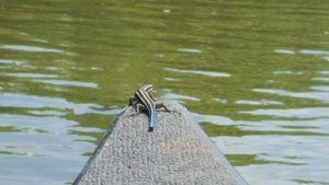 Lizard Boat