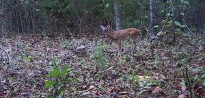 Bambi #1