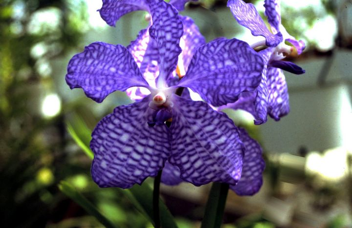 Blue Orchid - Manodak's