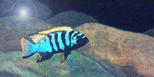 Blue Cynotilapia Cichlid