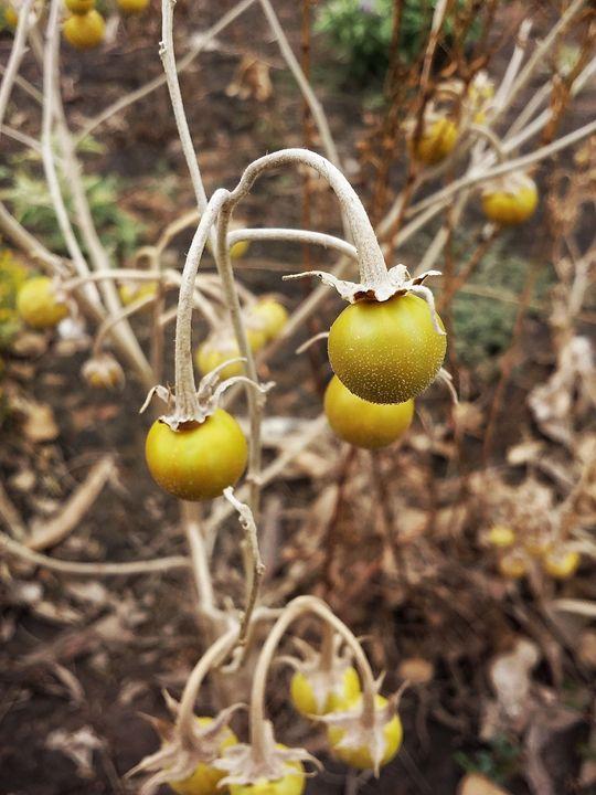 Silver leaf nightshade berries - XWulfyX