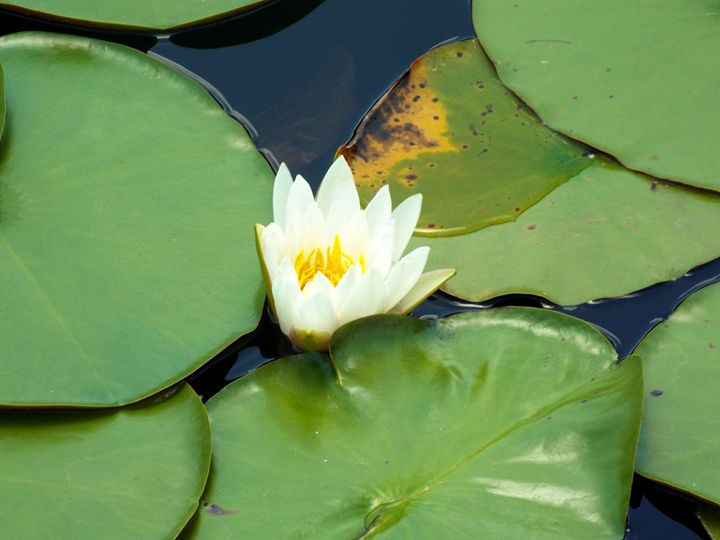 Lilly Pads - Black Nature