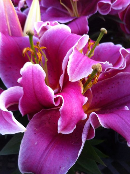 Asiatic Lily - Mabe to Order