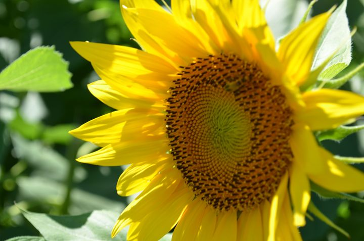 Sunflower - Photographerinoz