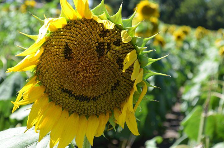 Smiling sunflower - Photographerinoz