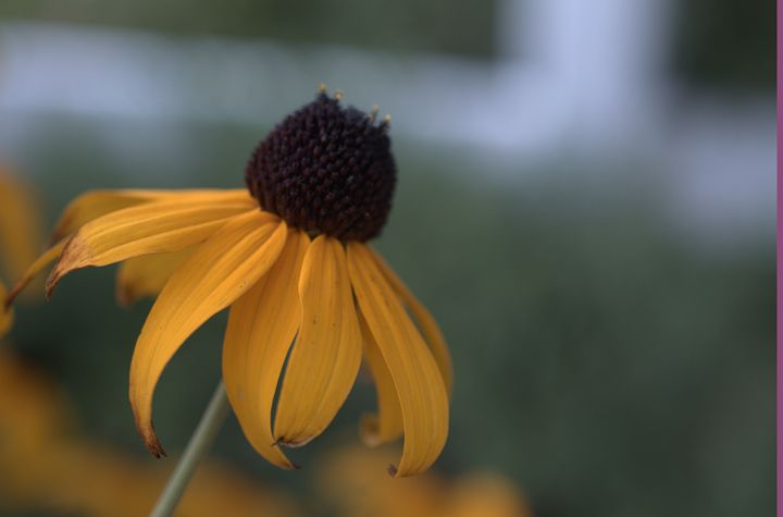single sunflower - Photography by Shellee