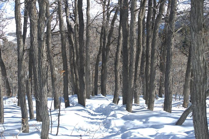 Winter Path in Grove of Trees - Photography by Shellee