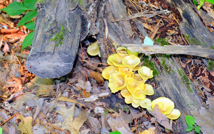 Jack O' Lanterns Mushrooms - Desimay's Fine Art
