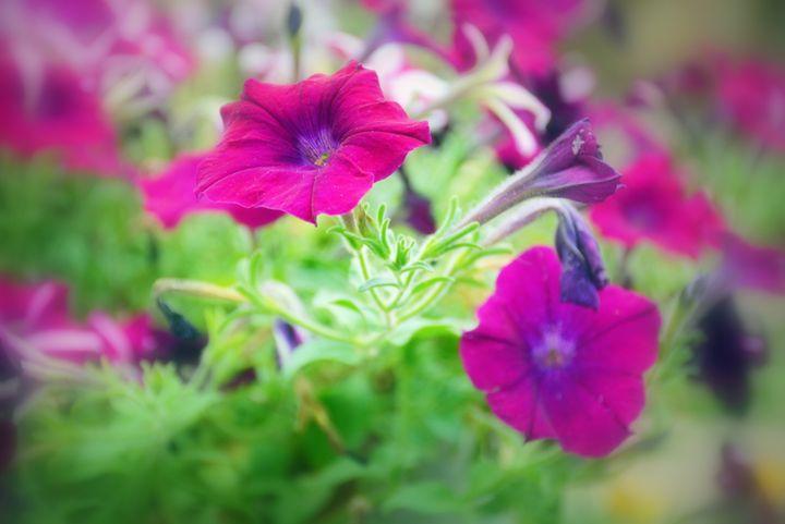 Purple Petunias - Desimay's Fine Art