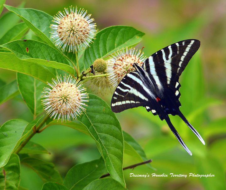 Zebra Swallowtail Butterfly - Desimay's Fine Art