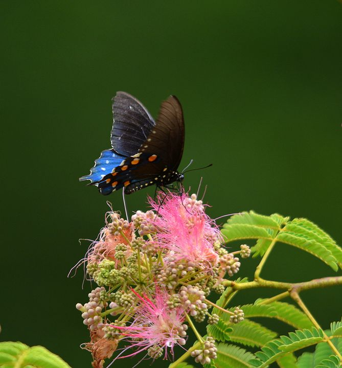 Spicetail Butterfly - Desimay's Fine Art