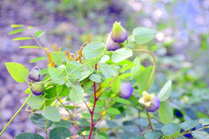 Wild Clematis Flower - Desimay's Fine Art