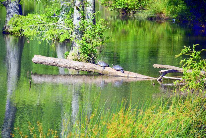 Two Turtles - Desimay's Fine Art