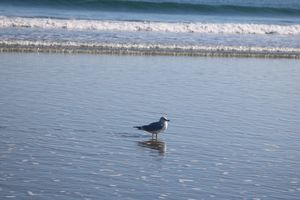 Seagull reflection (1)