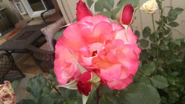 Pink rose - Steven's gallery