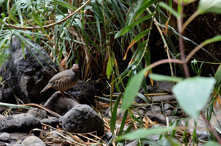 Barbary Partridge Tenerife - Fjord and Rust