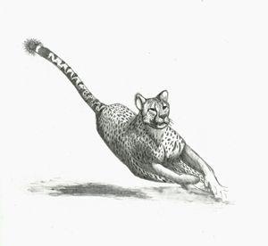 Running Cheetah Drawing - Natasha Lovell Art