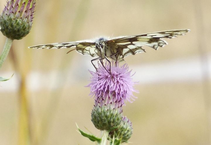 Butterfly and Thistle - Natasha Lovell Art