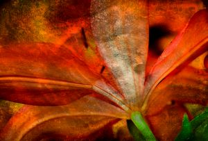 Orange Lily Impression