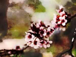 Cherry Blossoms II - Bohemian Eye Photography