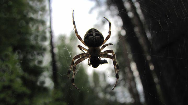 spider - dariusmorgendorfer
