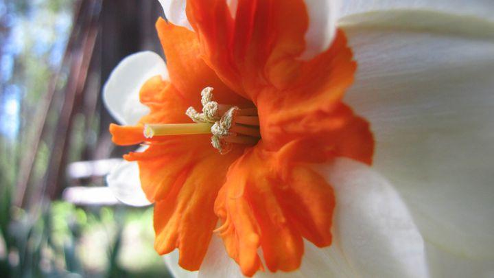 daffodil - dariusmorgendorfer