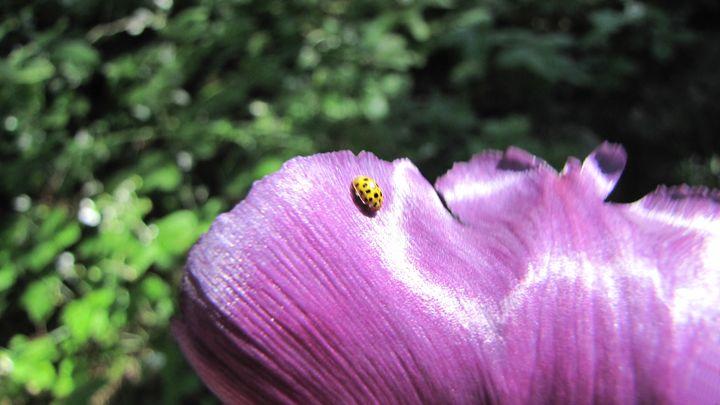 ladybug - dariusmorgendorfer
