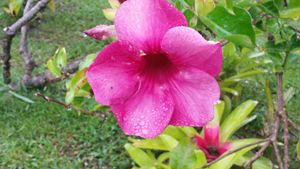 Pink Flower From Hawaii