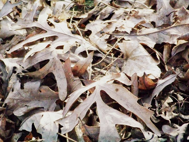 Fall Leaves - TiffanyWright