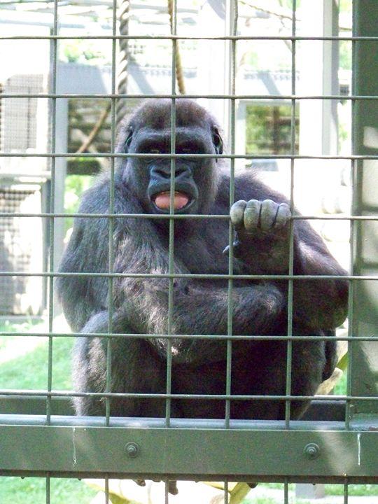 Silly Gorilla - TiffanyWright
