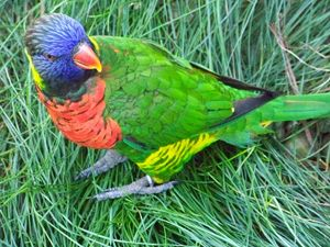 Rainbow Lorikeet 1 - TiffanyWright