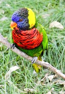 Rainbow Lorikeet 3 - TiffanyWright