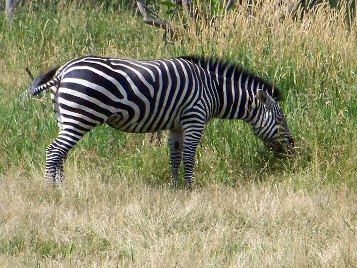 Zebra - TiffanyWright