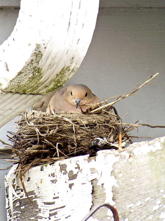 Dove Nesting - TiffanyWright
