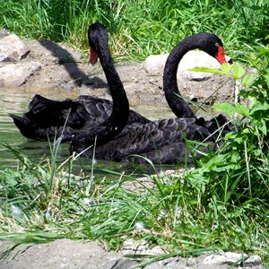 Black Swans 2