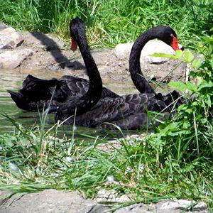 Black Swans 2 - TiffanyWright