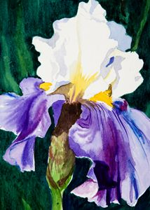 Purple & White Iris - Janis Ilene Images