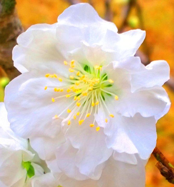 Peach Blossom - Nicole Shay