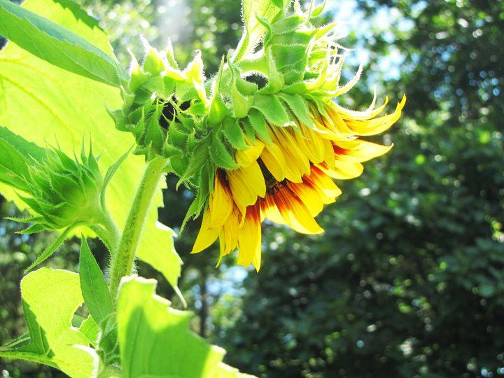 The Sunflower - Nicole Shay