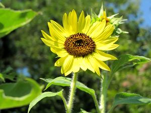 The Happy Sunflower