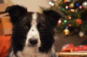 Christmas Dog - Casey Houston Photography