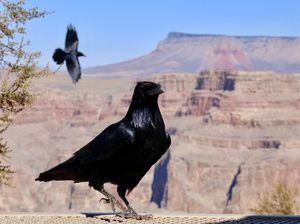 crows at the Grand Canyon