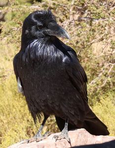 Crow at the Canyon