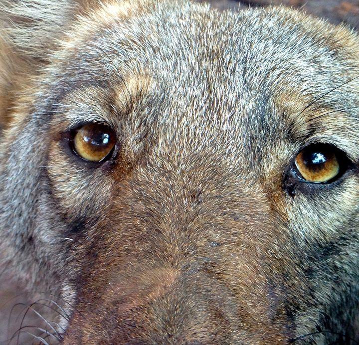The Coyote 2 - Karina Simmons Luna