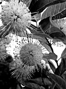 Cephalanthus Occidentalis In Black A