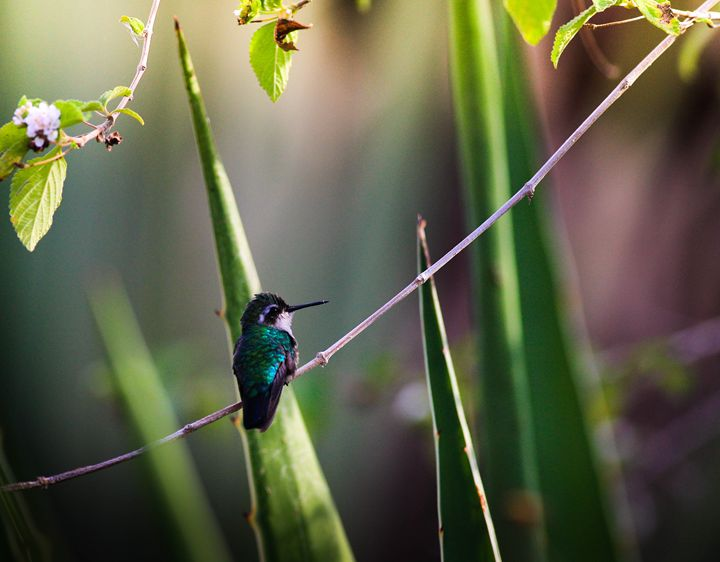 Hummingbird - Gianmarco Broilo