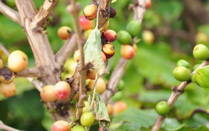 Kauai Coffee Beans - Shirleypix Art & Photography